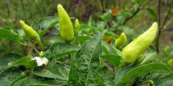 Chilli-Pepper