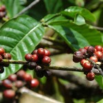 Munduk-Coffee